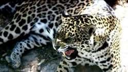 Müzmin bekar dişi jaguara eş aranıyor